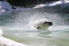 Time for a swim (BlondBohemian) Tags: polar bear zoo swimming splash
