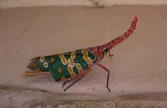 Garden visitor (Ben Zabulis) Tags: insect creature hongkong lanternbug bug taipo asia fareast nature garden 5photosaday lanternfly pyropscandelabria fulgoridae