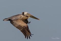 Brown Pelican (Stephen J Pollard (Loud Music Lover of Nature)) Tags: brownpelican pelícanopardo pelecanusoccidentalis bird ave shorebird aveplayera
