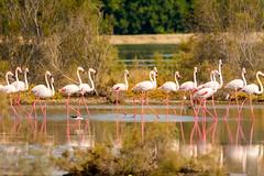 March of the flamingos (malc1702) Tags: flamingos birds largebirds migration migratorybirds nature grace beauty wildlife wildlifesanctuary wildlifephotography animals nikond7100 tamron150600 water