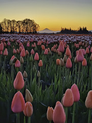 Tulips at dawn (mam_jo) Tags: pdx portland oregon woodburn woodenshoetulips tulips spring flowers color colour colourful morning sunrise dawn sky sun mounthood trees plants nature pristine