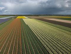 Egmond-Binnen (2) (de kist) Tags: kap thenetherlands nederland egmondbinnen egmond bollenvelden bulbfields bulbs bollen luchtfotografie aerialphotography