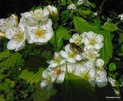 Honey bee on Crataegus mollis (hugogravelpond) Tags: saveearth