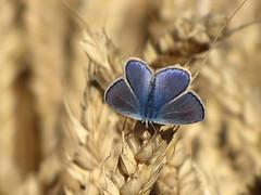 Argus Bläuling - Plebejus argus - Silver-studded blue (elisabeth.mcghee) Tags: argusbläuling argus bläuling plebejusargus plebejus silverstudded blue butterfly schmetterling