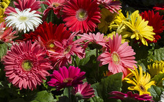 spring colors (verona39) Tags: flowers nature multicolor oakland california spring daisy