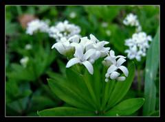 Waldmeister (karin_b1966) Tags: blumen flowers blüten blossoms pflanze plant wildblume wildflower natur nature frühling spring 2017 waldmeister