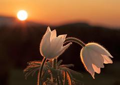 Küchenschelle im Morgenlicht (Mariandl48) Tags: küchenschelle morgenlicht sonnenaufgang sonne sonnenstrahlen morgenröte sommersgut wenigzell steiermark austria