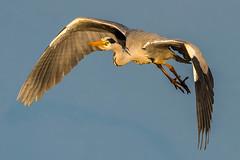 Heron Take-off (trevorwilson1607) Tags: greyheron heron flight inflight flying sunrise avian wildlife bird rspbpulborough sussex countryside wetland wildlifereserve