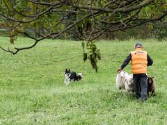 P4230631 (zullo_stefano) Tags: dog pet farm sheep sheepdog herding workingdog shepperd italy nature green fiield olympus e5 zuiko training border bordercollie