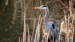 1T0A5887 (idvisions) Tags: aquaticbird wildlife wetland wetlands explore thewonderfulworldofbirds outdoor bird birds greatblueheron greatblueherons marsh heron herons