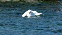 Badande svan (evisdotter) Tags: svan swan video bird fågel nature 2min