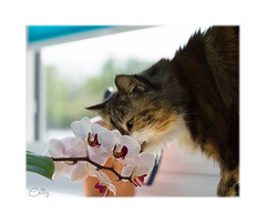 Photobomber (hehaden) Tags: cat semilonghair tortoiseshell calico orchid flower sniff sniffing smell smelling photobomb conservatory sel55f18z
