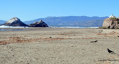 DSC_0301 (rachidH) Tags: birds crow raven corbeau corneille oceanbeach pacific ocean sanfrancisco california ca commonraven corvuscorax grandcorbeau corvus corvids corvidae rachidh nature
