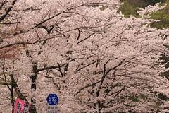DPP_8140 (catalyst1991) Tags: spring cherry cherryblossom dangling danglingcherry park pink yellow beautiful flower shiga biwako lake japan japanesebeauty happyflower japanesemind macro blossom nagamama castle sunset foreonsky clouds okubiwakohighway