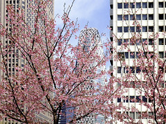 Blossoms and buildings (Digidoc2) Tags: cherryblossom cherry trees tokyo japan delicate blossom tree pink beautiful flowers buildings spring sky blue clouds