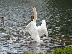On the up (PHILIP.ISOM) Tags: birds swan westportlake sigma55200mm olympuse510