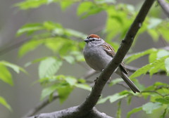 Chipping Sparrow (Peter Simpson) Tags: canon ottawa sparrow swamp stony f4 chipping