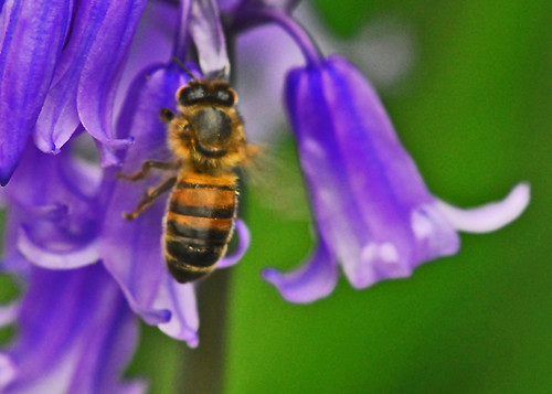 bee on bluebells