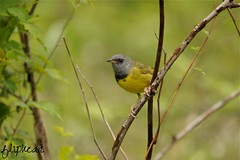 When Will I See You Again (flipkeat) Tags: bird philadelphia nature birds yellow closeup grey different mourning wildlife awesome mississauga avian warbler songbird lifer warblers geothlypis dslra500