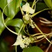 Brassia veracosa – Nico Goosens