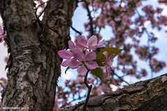 spring blossoms (Majed-Rabee3) Tags: nature beautiful nikon quebec blossom montreal saudi sping d600