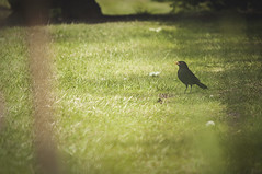 Hey Mr Blackbird (Antony Archer) Tags: wild summer black male bird grass yellow garden lens spring nikon photographer wildlife beak telephoto blackbird nesting 200mm