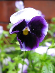 Pansy (lady.bracknell) Tags: blue flower macro garden purple pansy