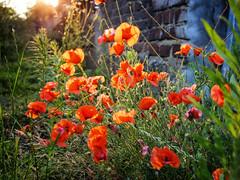 red. (angsthase.) Tags: light flower green germany deutschland licht weeds bricks poppy flare nrw grün ruhrgebiet dortmund ruhrpott ziegel mft 2013 micro43 lumixg20f17 epl5 olympuspenepl5