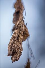 Wither Left behind (Drachenfanger) Tags: macro tree art nature leaf fineart natur withered makro blatt lipoma kunstwelt photosophie giesea lipom crowdmedia drachenfanger ilobsterit andreasmgiesea darchenfanger