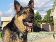 Down By the River (idylle2) Tags: dog germanshepard elementsorganizer