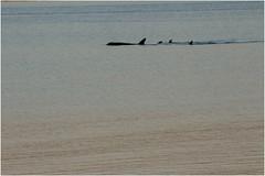 121hdra (markbyzewski) Tags: alaska juneau ugly killerwhale orcas