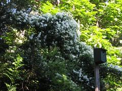 Clematis over the Birdhouse (David Milley) Tags: summer white flower fleur yard garden clematis vine bloom blume fiore milley yardview davidmilley