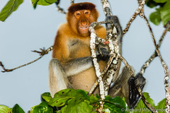 A Proboscis Monkey shelters from a heavy rain storm (WhitcombeRD) Tags: travel wild portrait brown storm tree cute nature face rain animal forest indonesia mammal nose monkey leaf big rainforest asia long branch sitting natural feeding eating wildlife jungle sarawak malaysia borneo ape tropical destination species endangered southeast erection shelter heavy creature habitat primate rare sabah munching malay proboscis protected inquisitive primitive nosed longnose behaviour foraging arboreal torrential bekantan nasalis larvatus
