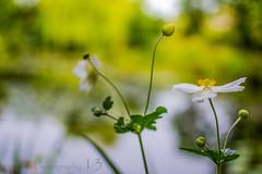 Monet's Garden (Phutball) Tags: france flower water garden japanese nikon monet giverny phutball d3100
