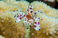 shrimp7July21-13 (divindk) Tags: ocean sea color coral hawaii marine underwater shrimp diving maui reef crustacean underwaterphotography kahekilibeach hawaiianislands harlequinshrimp hymenocerapicta airportbeach