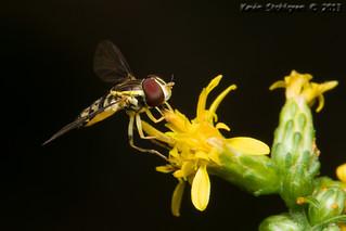 Teeny tiny little syrphid fly