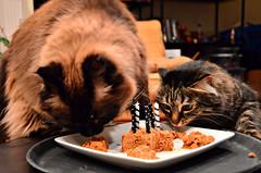 Chloe proclaims it's safe to commence dining. (Gossamer1013) Tags: cats chloe kitties tabbies gibson ragdolls rescuekitties