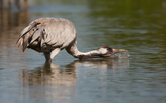 Common Crane - drinking