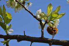 Mamangava polinizadora (srie com 5 fotos)  //  Bumblebee pollinator (series with 5 photos) (Parchen) Tags: flores foto flor abelha linda inseto bonita beleza fotografia bela imagem bombus registro mamangaba polinizao mamangava polinizadora polinizando besouromangang vespaderodeio marimbondomanganga parchen carlosparchen abelhaderodeio