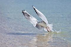 Seagull (zabielin) Tags: ocean blue sea sky cloud white bird animal spread fly high marine wildlife seagull gull flight beak lapwing soaring gliding wingspan soar seabird mew pewit