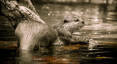 An otter in autumn (MathewKendallPhotography) Tags: autumn fish colour tree cute wet water leaves animal animals river mammal zoo eyes furry feeding little eating wildlife meat whiskers otter wildlifepark