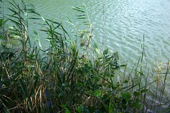 Reeds & turquoise (vertblu) Tags: reeds pond turquoise teal ripples