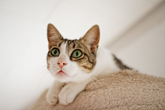 Bruno (No_Water) Tags: white cute cat big eyes tiger bruno