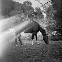 Raylight Horse (M a r c O t t o l i n i) Tags: bw horse 6x6 film zeiss square cheval switzerland countryside suisse kodak trix nb apples mf carr vaud trix400 hasselblad500cm macroplanar vuescan epsonv700 epsonperfectionv700 marcottolini macroplanar40120mm