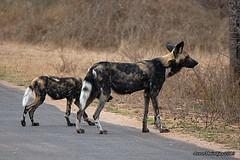 DSC_5407 (Arno Meintjes Wildlife) Tags: africa wallpaper southafrica wildlife safari endangered predator krugerpark africanwilddog wilddog lycaonpictus wildehond nikond40 arnomeintjes stripeddog