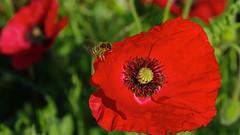 Coquelicots, Poppies, Amapolitas campestres (jlfaurie) Tags: red garden mercedes bees jardin dordogne poppies abeilles coquelicot mechas amapolas mpm jeanlouis lesmesnuls avejas bourdon jlf campestres oxfordpoppies