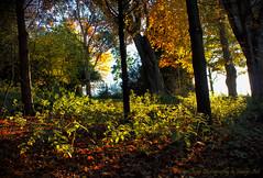 Stinging Light (Glyn Owen Photography & Image-Art) Tags: autumn light leaves forest cheshire arboretum nettles rays