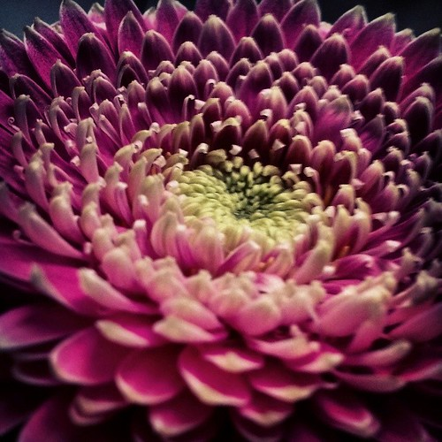 Ook met je mobiel kun je macro foto's maken. Deze germini kleurt prachtig in de grijze winter.