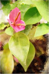 Artsy Bonsai Flower (AmeliaPhotoAme) Tags: macro nature reflections small mini bougainvillea artsy bonsai bloom