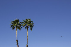 Twin Palm Trees (taraschmidtphotog) Tags: trees arizona sky tree bird fly twins tucson twin palm clear palmtrees solid lookuplookinglookingupcloudsvastblue